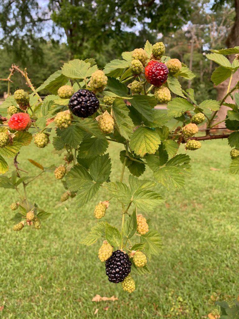 Ripe blackberries dangle from the vine