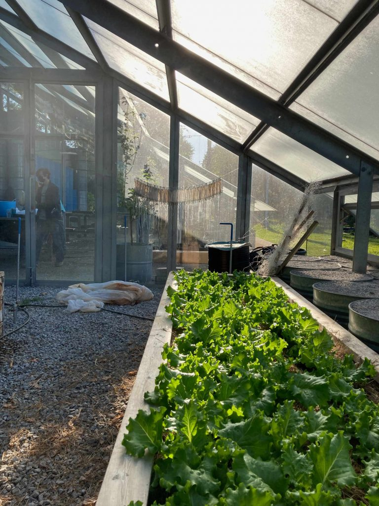 A view of green looseleaf lettuce growing in a greenhouse bed