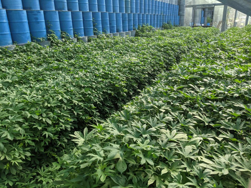 A long shot of the sea of sweet potato vines that has blanketed the inside of the greenhouse in palmate leaves