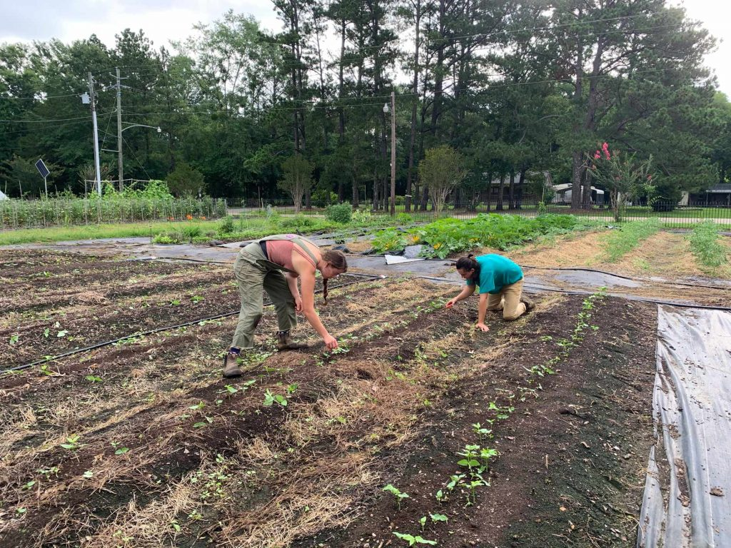 Two students thin out pinkeye purple hull seedlings