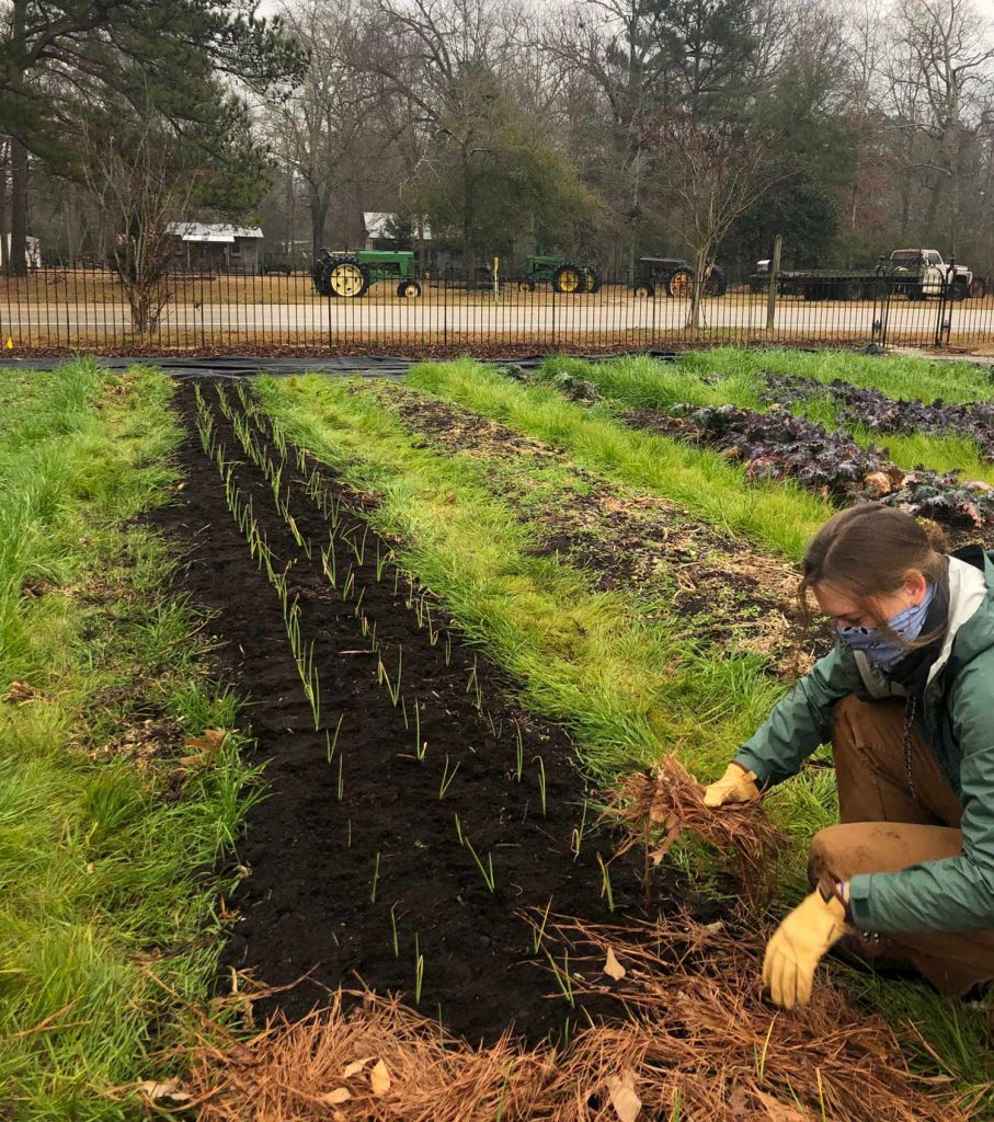 A student mulches around newly transplanted onion seedlings with pine straw