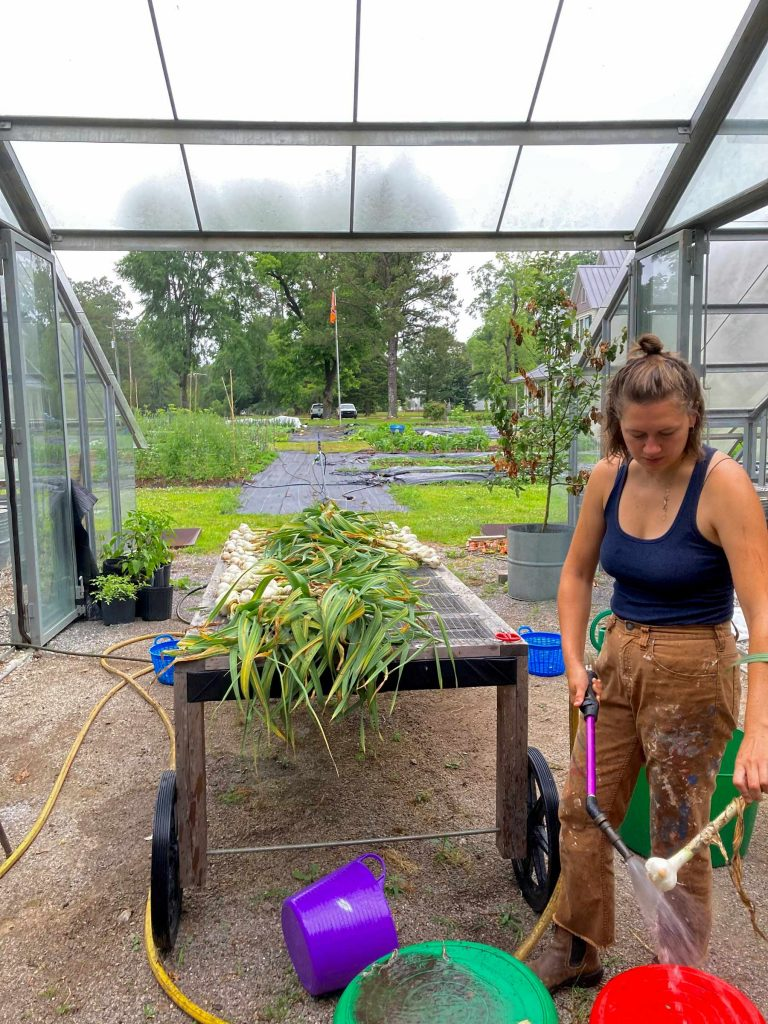 A student rinses and processes newly harvest garlic