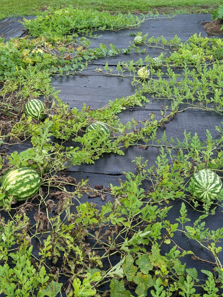 Watermelon vines winding across landscape fabric with ripening melons