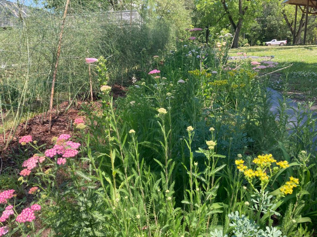 A view of yarrow and other beneficial flowers and herbs in bloom