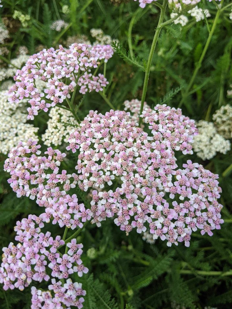 A close-up of pink yarrow flowers