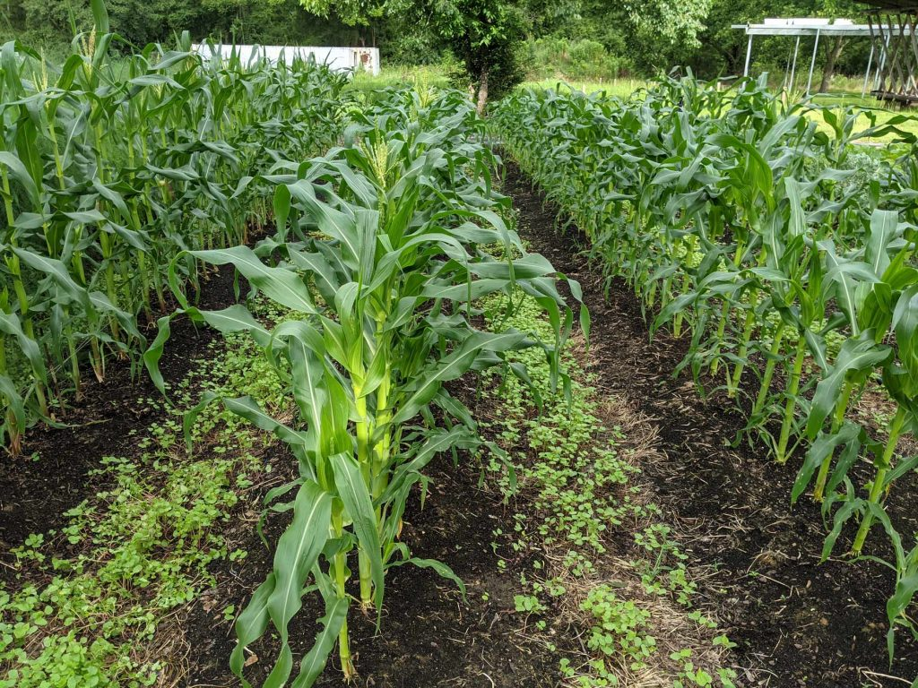 Neat rows of growing corn