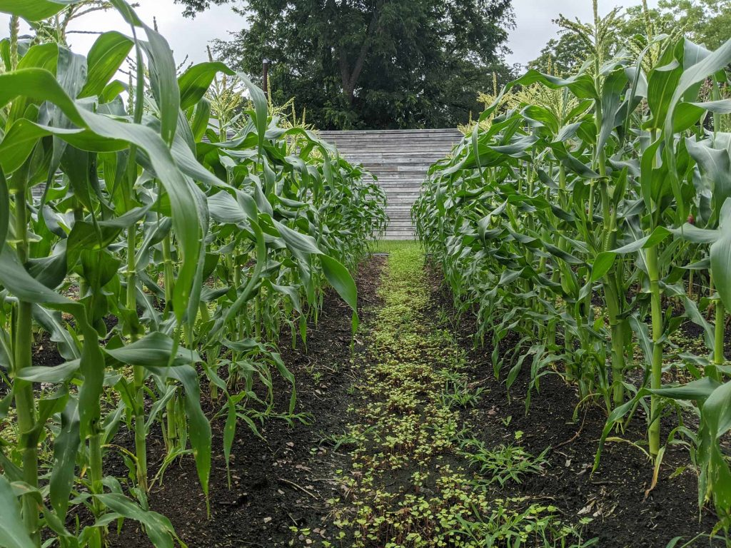 A view of the storehouse between tall rows of corn plants