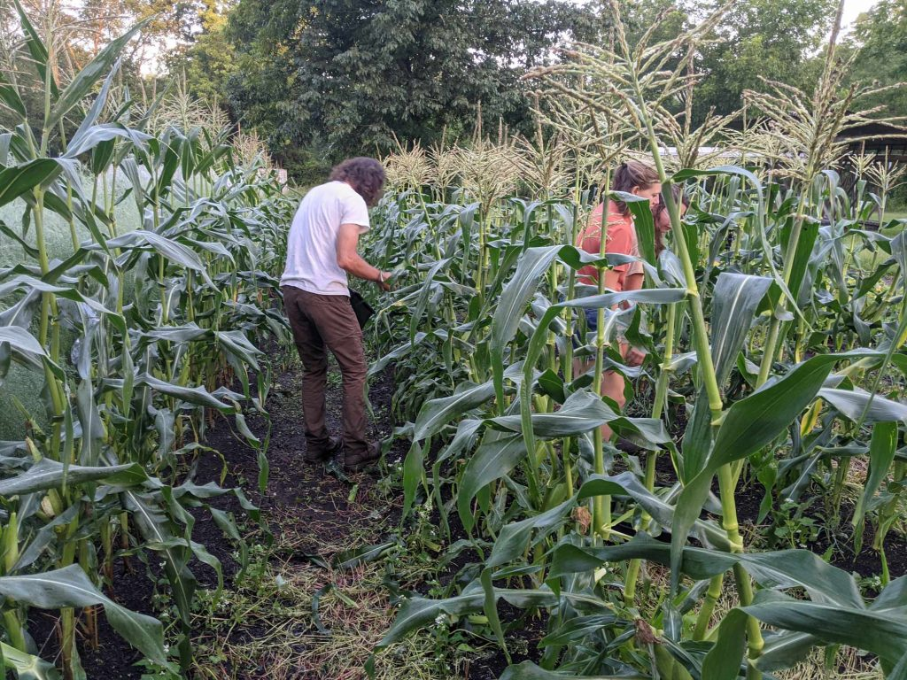 A student collects ripe ears of corn