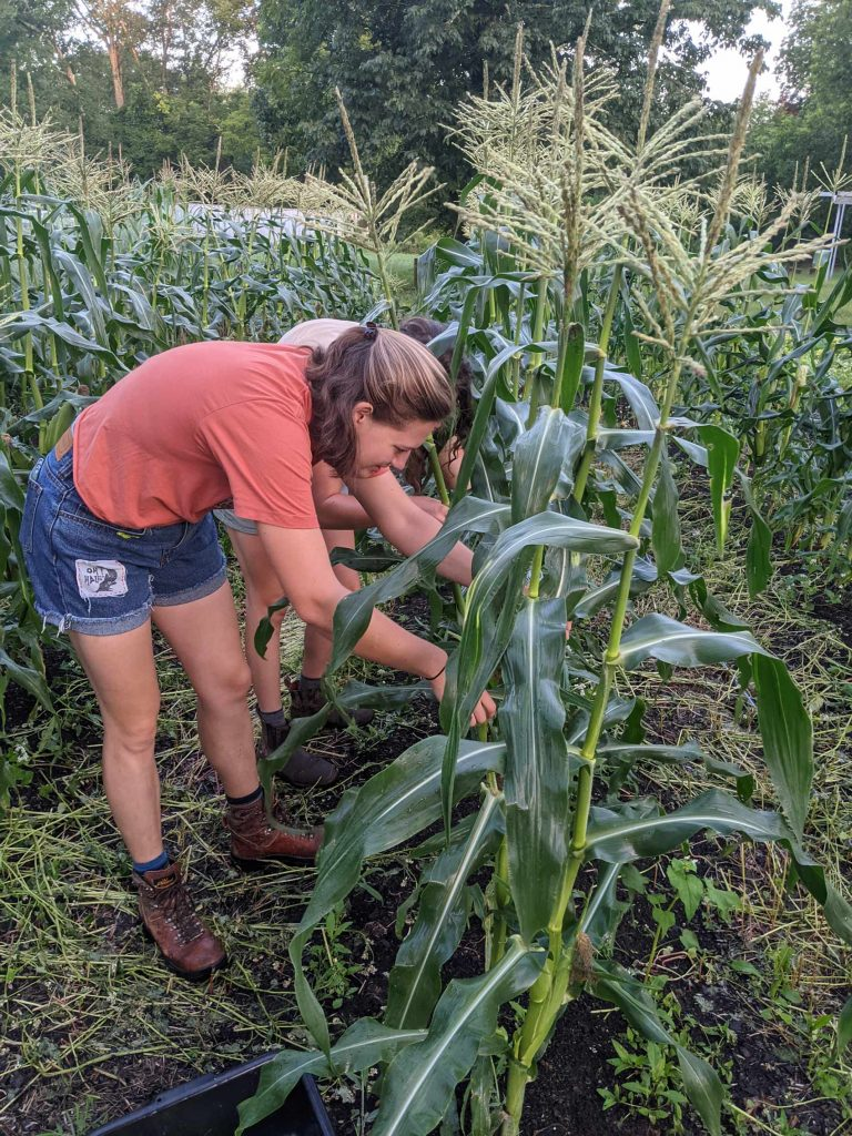 Students pick ears of corn from the stalks