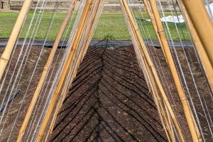 An A-frame bamboo and twine trellis for pole bean vines to climb