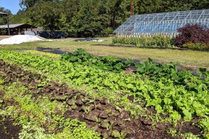 Rows of crops grow: summer squash, mustard, and turnips with buckwheat growing in between